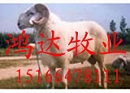 肉羊养殖 肉羊山南