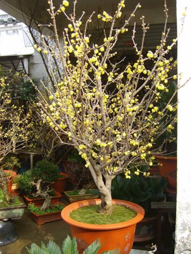 腊梅树图片_腊梅树图片大全_腊梅树图库_一呼百应