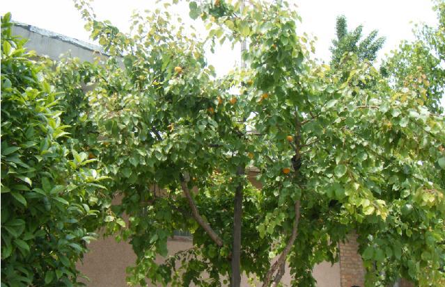 杏树图片_杏树图片大全