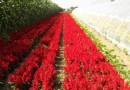 赤峰中亚园艺花卉种子育种基地