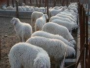 牛羊养殖技术和管理
