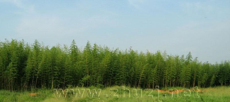 竹类植物图片