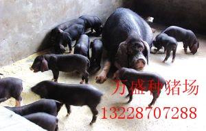 供应地方优良品种太湖猪梅山猪万盛猪场