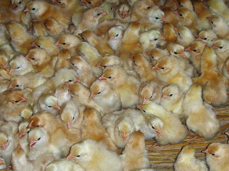 鸡苗 817鸡苗价格 今日鸡苗价格