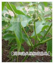 供应用于产果的简阳核桃苗,贵州核桃苗