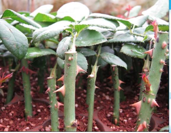 贵阳市白云区玫瑰种植基地生产供应月季种苗