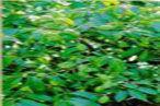橄榄葉提取物,橄榄提取物