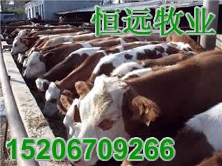广东肉牛价格双浩牧业恒远夏洛莱牛