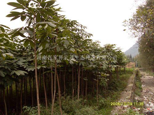 公园,广场绿化树种,既可孤植也可群植,或与常绿树和阔叶树混种