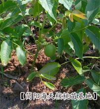 供应用于产果 增加经济收入的核桃苗栽培嫁技,核桃苗种植基地