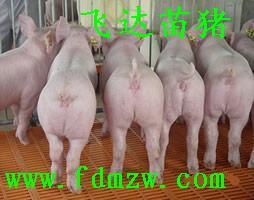 供应养殖基地的仔猪批发