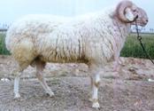 小尾寒羊图片