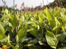 供应水生绿叶花叶美人蕉
