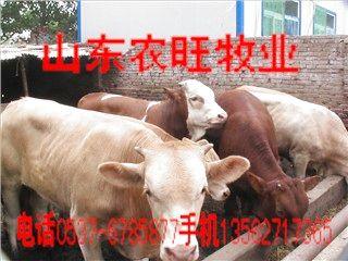 供应鲁西黄牛养殖肉牛养殖场农旺牧业波尔山羊批发