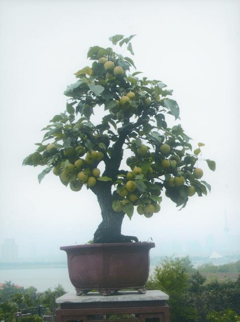 观赏木瓜盆景价格