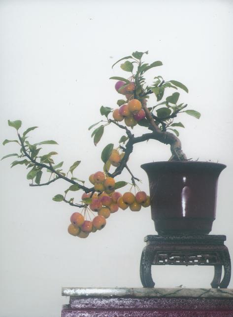 供应观赏木瓜盆景