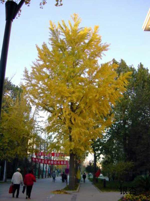 邳州市怀超银杏苗圃场 供应北京银杏树的作用;  名称:银杏; 邳州市怀图片