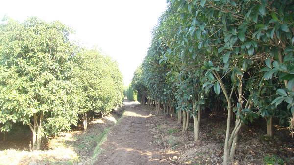 绿化树木图片 绿化树木图片大全  行成园林 经营类型:生产类型 企业