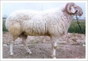 供应小尾寒羊图片