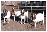 供应羊种羊肉羊批发