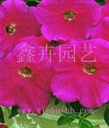 供应花卉种子