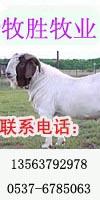 供应种羊小尾寒羊波尔山羊批发