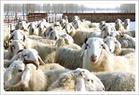 供应肉羊种羊批发
