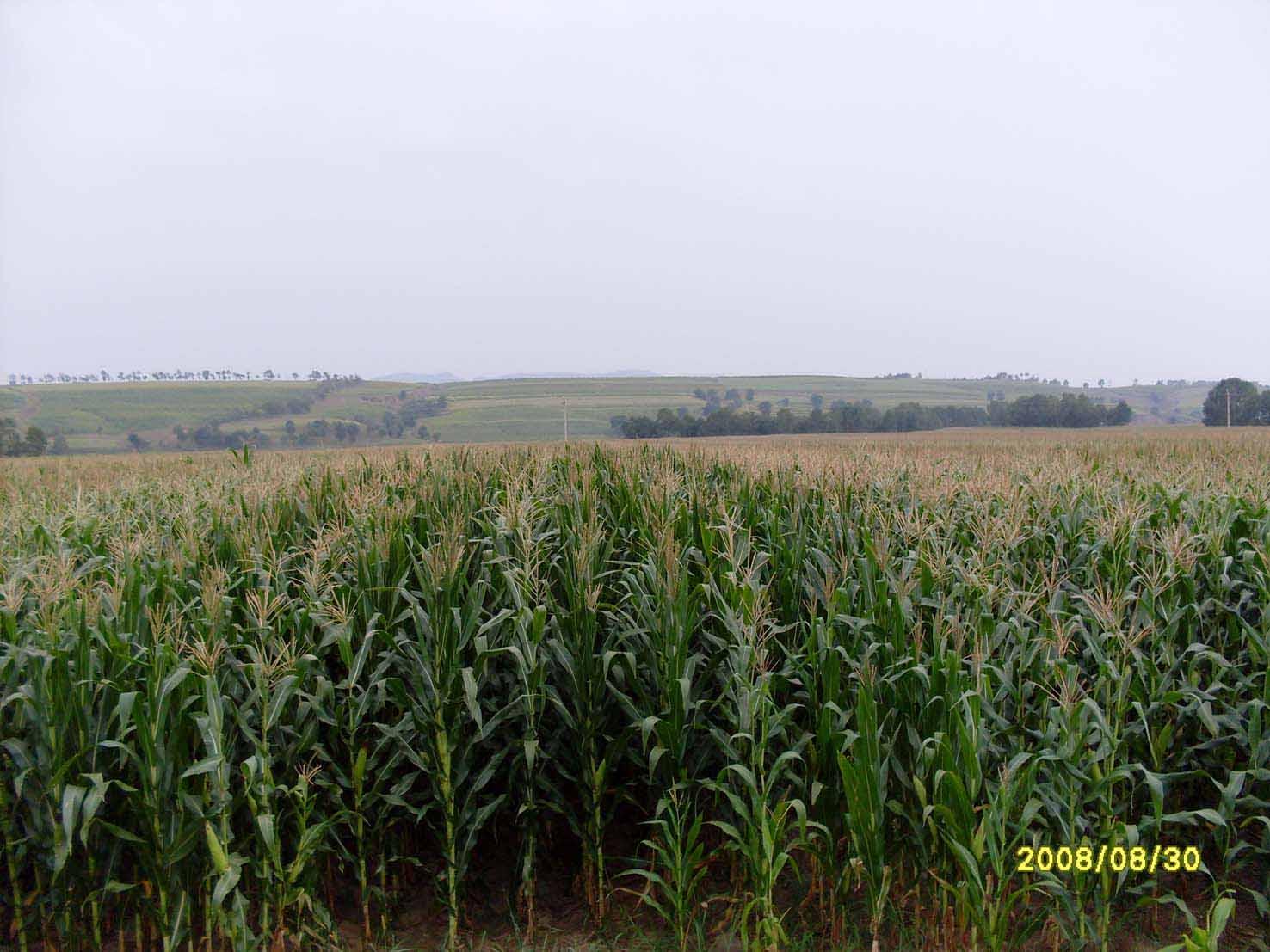 玉米;; 玉米苗--赤峰市惠农农产品合作联社;