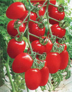 供应进口樱桃番茄种子红小丽图片