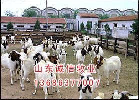 供应山东梁山大型肉牛养殖合作社梁山诚信牧业图片