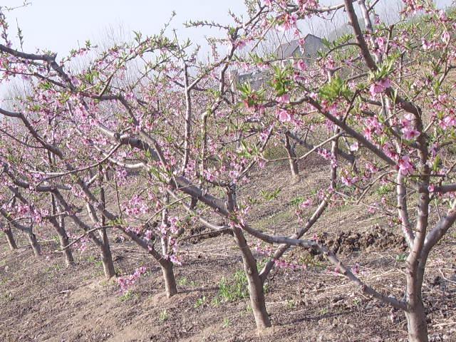 大桃树梨树杏树占地用图片