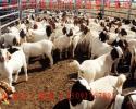 优良纯种肉羊品种种苗图片