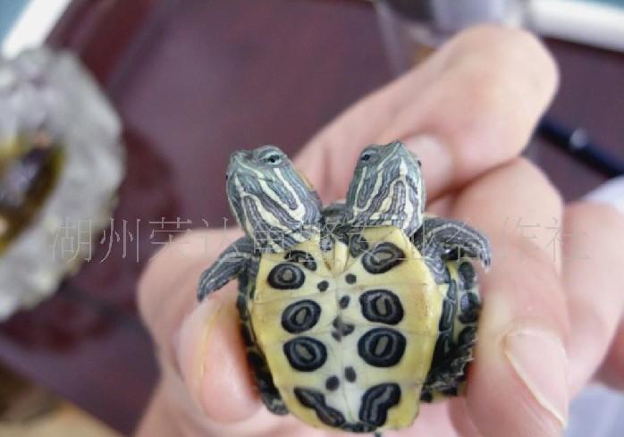 巴西龟 双头 供应/图片标签(TAGS)