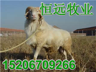 供应09年11月小尾寒羊能在山上放养吗放牧行批发