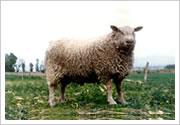 供应夏洛莱羊