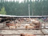 养羊成本养羊效益养羊技术图片