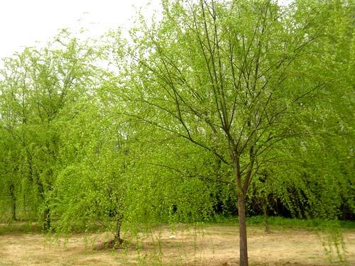 供应 南京垂柳园林绿化苗圃苗木基地