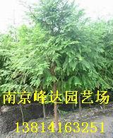 供应 南京水杉园林绿化苗木乔灌木基地