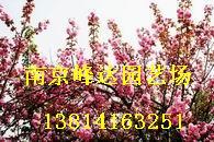 供应 南京樱花园林绿化苗木乔灌木苗木