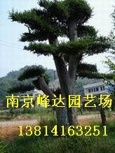 供应南京榆树园林绿化苗木直销