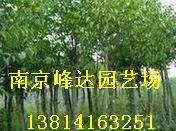 供应 南京杜仲园林绿化苗木直销