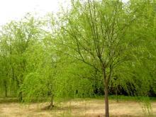 供应南京垂柳等多种绿化苗木乔灌木直销
