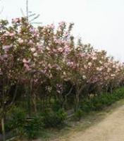 供应 南京红叶李苗圃苗木乔灌木苗木基地