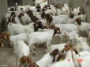优秀的肉用山羊品种波尔山羊图片
