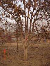 供应牡丹绿化苗木