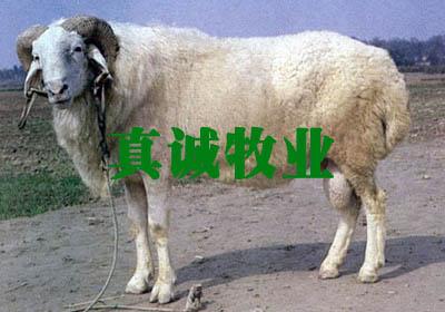 供应种羊小尾寒羊等大量优质牛羊批发