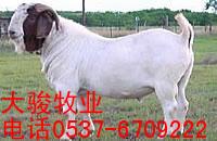 肉羊图片/肉羊样板图