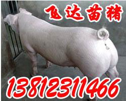 供应飞达苗猪供求信息