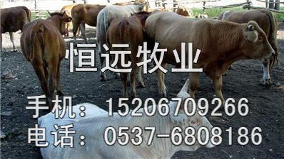 供应西门塔尔牛的价格西门塔尔牛养殖中国肉牛网批发