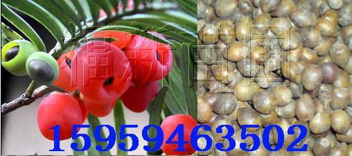 供应红豆杉种子红豆杉种红豆杉红豆杉种子批发图片